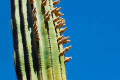 Kaktusfikonträd Arkivbild