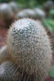 kaktusfingerlady Arkivfoton