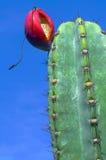Kaktusfrukt Fotografering för Bildbyråer