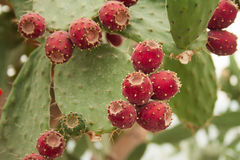 Kaktusfrukter Royaltyfri Fotografi
