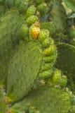 Kaktusfrukter Fotografering för Bildbyråer
