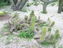 kaktusfuerteventura jordning spain royaltyfria bilder