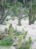 kaktusfuerteventura jordning spain arkivbild