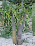 kaktusfuerteventura jordning spain royaltyfri foto