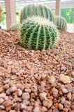 kaktusfuerteventura jordning spain Arkivfoto