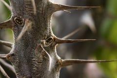 Kaktusgrova spikar Arkivfoton