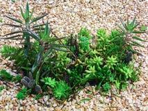 Kaktusgrupp Royaltyfri Bild