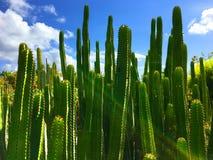 Kaktusgruppe Stockbild