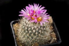 KaktusGymnocactus beguinii med blomman som isoleras på svart Fotografering för Bildbyråer