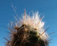 Kaktushaare und -dorne Stockfoto