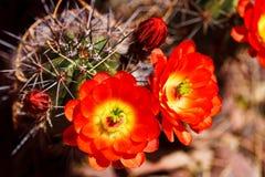 kaktusigelkottscharlakansrött arkivfoton