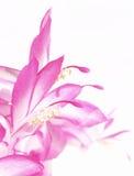 kaktusjul Royaltyfria Bilder