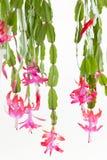 kaktusjul Arkivfoton