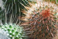 Kaktuskaktus, Royaltyfri Fotografi