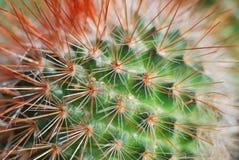 Kaktuskaktus, Fotografering för Bildbyråer