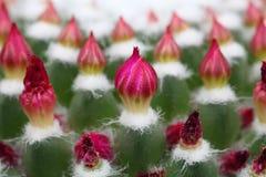 Kaktusknoppar Arkivfoton