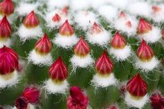 Kaktusknoppar Arkivbild