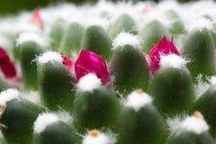 Kaktusknoppar Arkivbilder