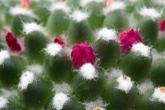Kaktusknoppar Royaltyfri Foto