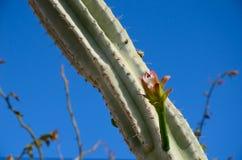 Kaktusknospentropfen Stockfotografie