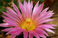 Kaktuskronblad Royaltyfria Foton