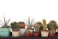 kaktuskrukar arkivfoto