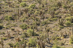 Kaktuslandskap Royaltyfri Fotografi