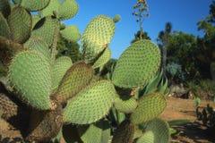 Kaktuslandskap Odling av kakturs Kaktusfält Trädgård av blomman och växter på botanisk trädgård i den underbara ön Lokrum royaltyfri bild