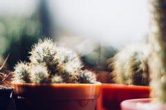 Kaktusliebhaber Lizenzfreies Stockbild