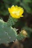 Kaktusmakro Royaltyfri Foto