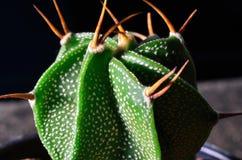 Kaktusmakro Fotografering för Bildbyråer