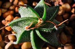 Kaktusmakro Arkivbild