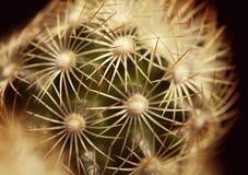 Kaktusmakro Arkivfoto