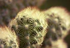 Kaktusmakro Arkivbilder