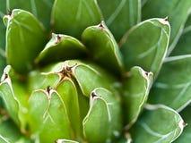 Kaktusmakro med livlig textur och färg Fotografering för Bildbyråer