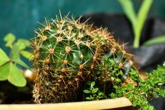 KaktusMammillaria, Melocactus och Opuntia arkivfoto