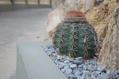 Kaktusmelocactusen Zehntneri nära vaggar royaltyfri foto