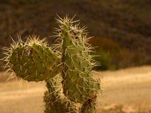 kaktusmexikan Arkivbilder