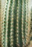 Kaktusnärbild Hem- inomhus växter med taggar En suckulent Arkivbilder