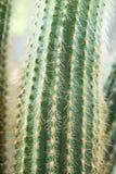 Kaktusnärbild Hem- inomhus växter med taggar En suckulent Royaltyfri Foto
