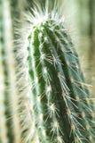 Kaktusnärbild Hem- inomhus växter med taggar En suckulent Arkivbild