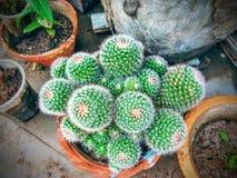 Kaktusnatur Arkivbilder