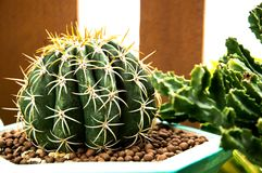 kaktusnaturgräsplanen är bakgrund, Royaltyfria Bilder