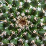 Kaktusnippel-kaktus (Mamillaria). Arkivbilder