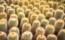 KaktusNotocactus leninghausii royaltyfria bilder