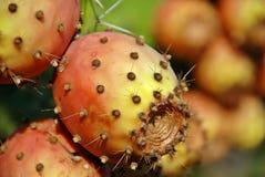 kaktusopuntia Arkivfoto