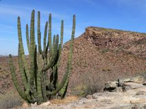 kaktusorganrør Royaltyfri Bild
