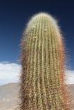 kaktusowa ampuła Fotografia Stock