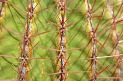 Kaktusowa cierń tekstura Fotografia Stock