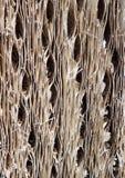 Kaktusowa drewno barkentyny tekstura Zdjęcia Royalty Free